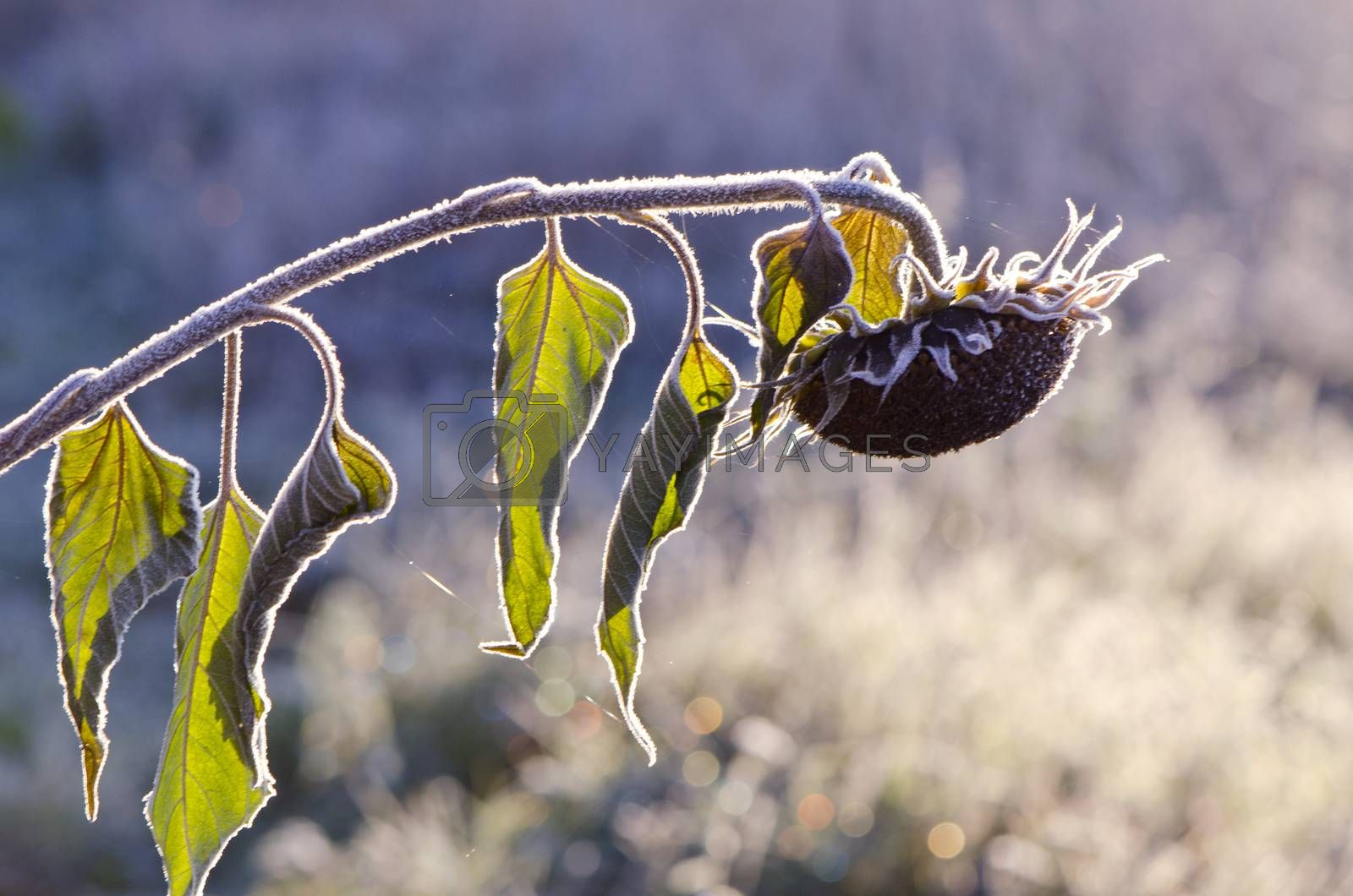 Royalty free image of Frosted sunlit sunflower in autumn morning  by alis_photo