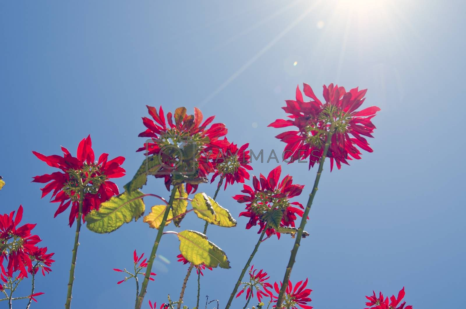 Royalty free image of Wild flowering pointsettia from beneath on sunny day by alis_photo