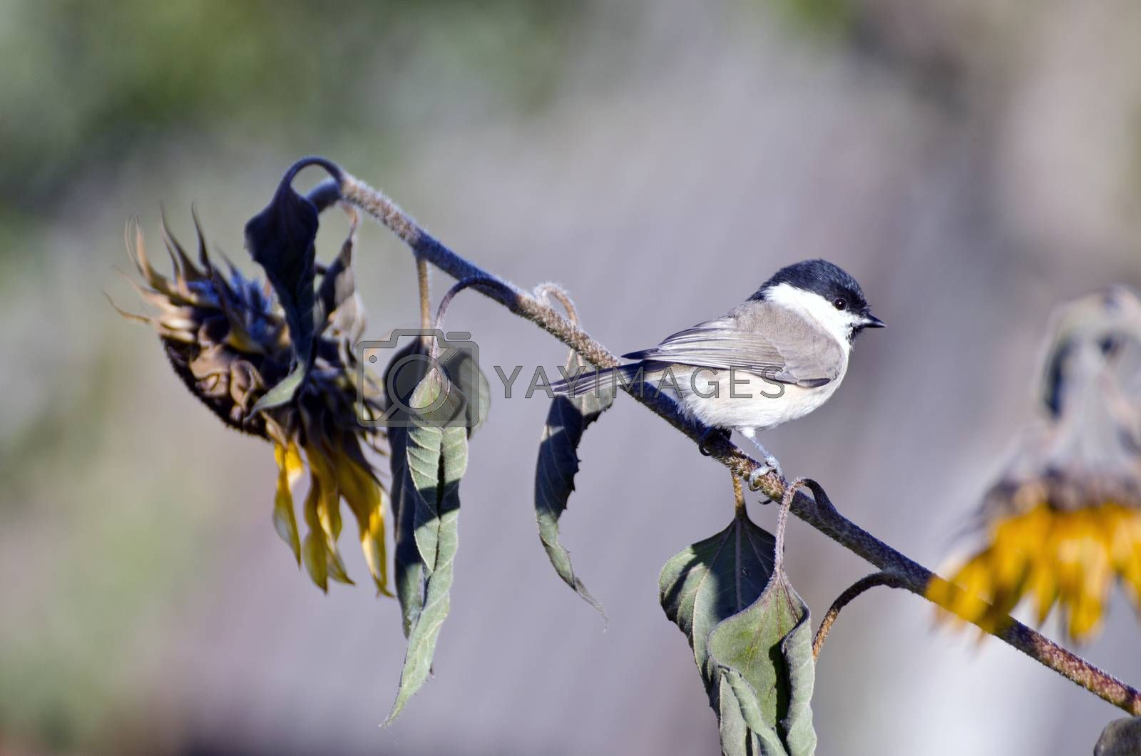 Royalty free image of Marsh tit Parus palustris sitting on sunflower in  autumn by alis_photo