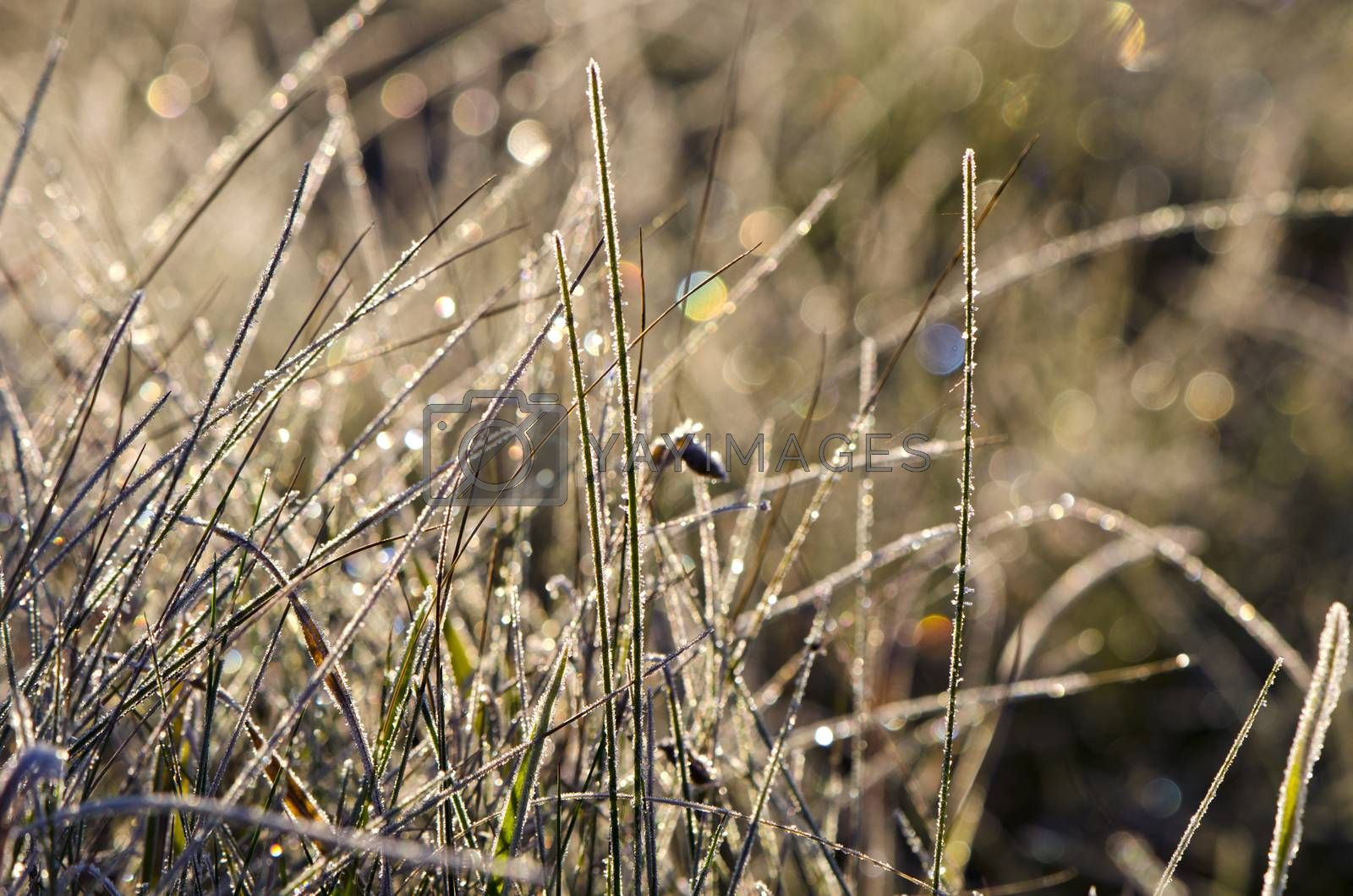 Royalty free image of Closeup of frosty grass on sunny autumn morning by alis_photo