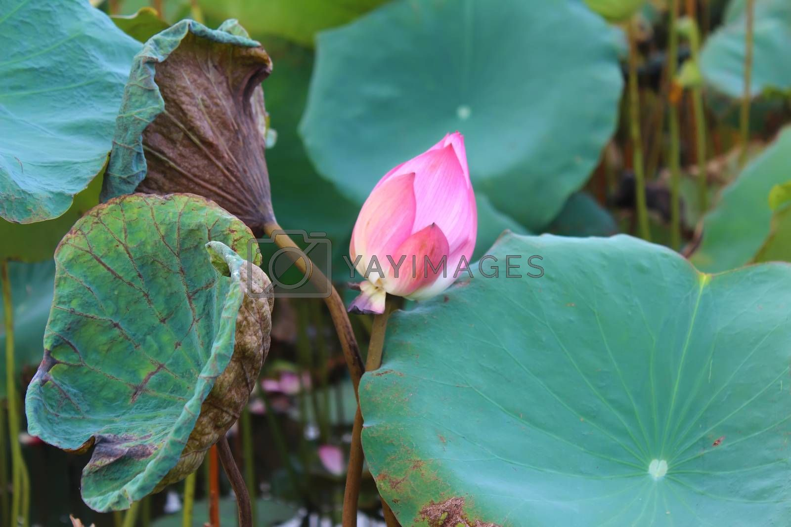 the lotus in the pond