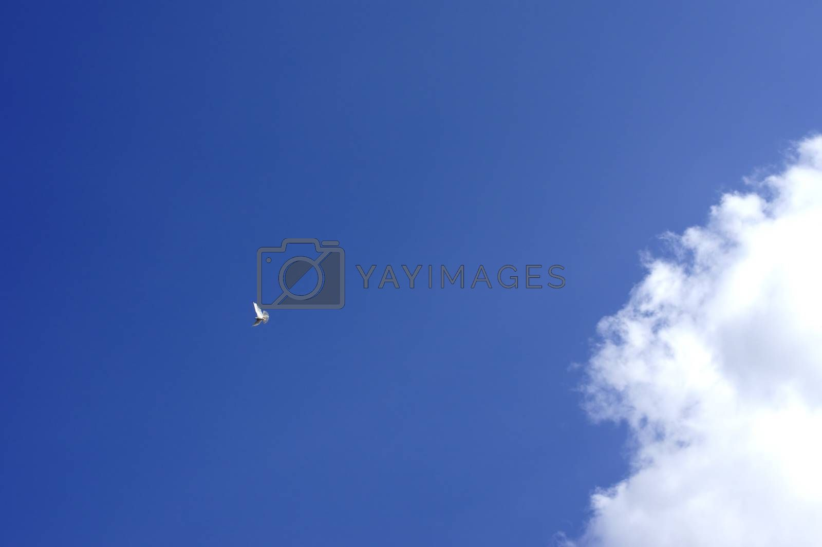A white dove fluttering on a location in nice weather.