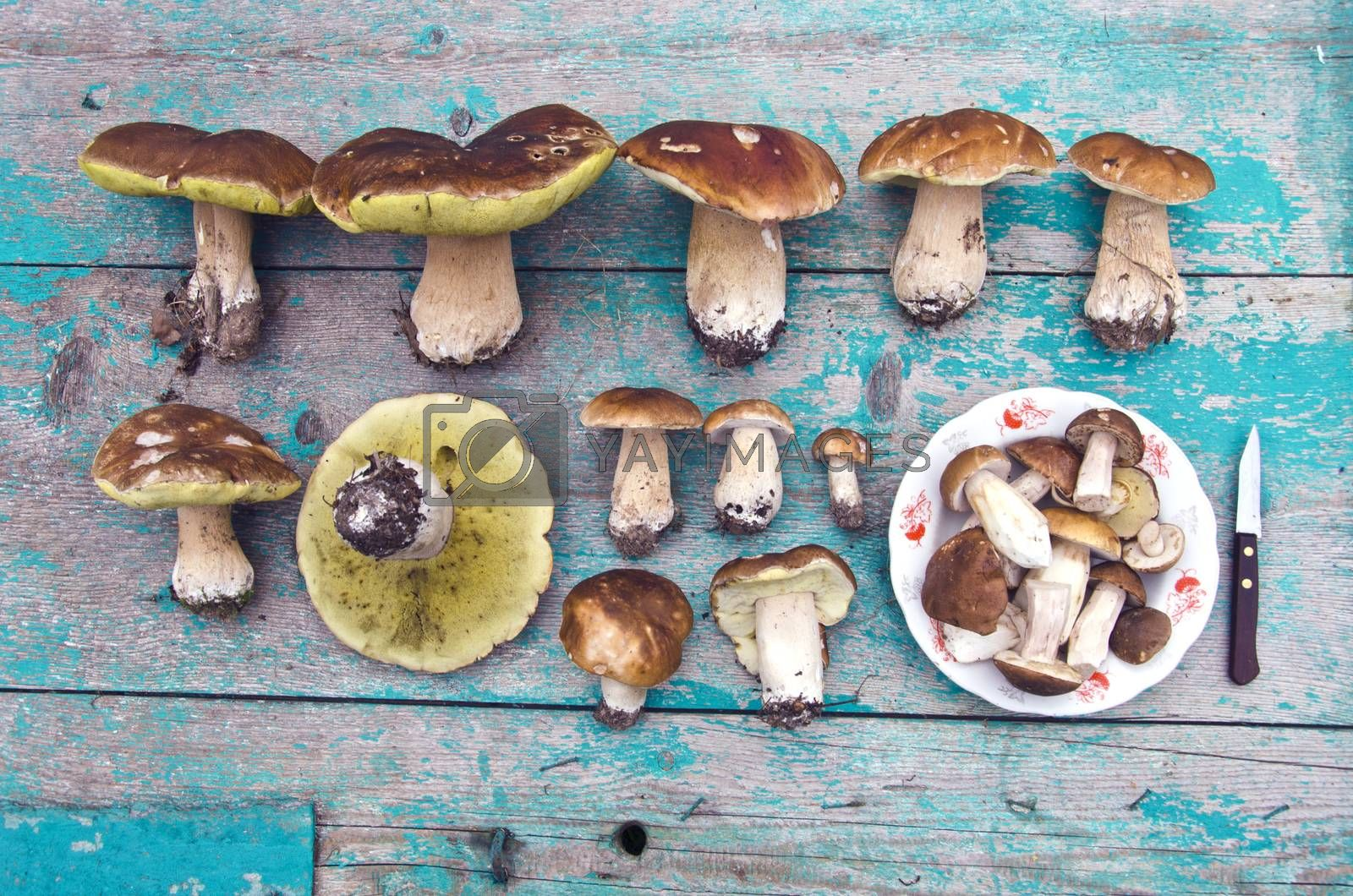 Royalty free image of Collection of boletus edulis by alis_photo
