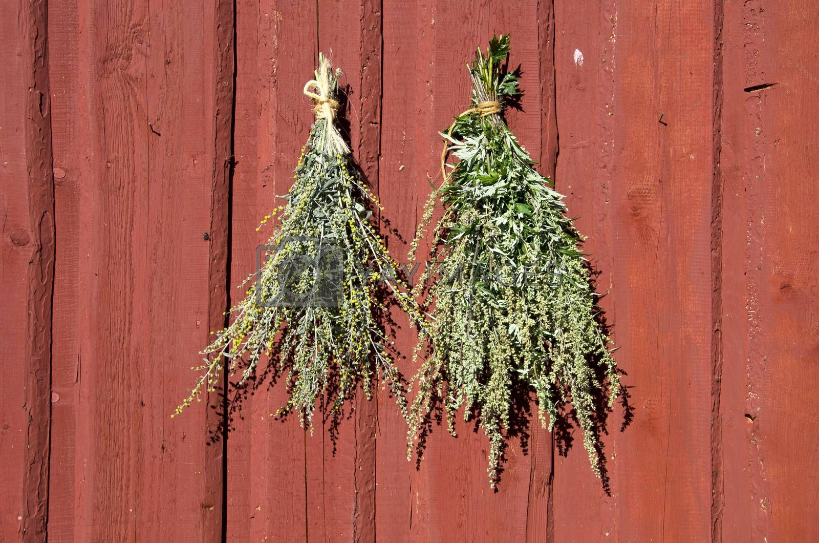 Royalty free image of Bundles of fresh herbs hanged to dry  on wooden wall by alis_photo