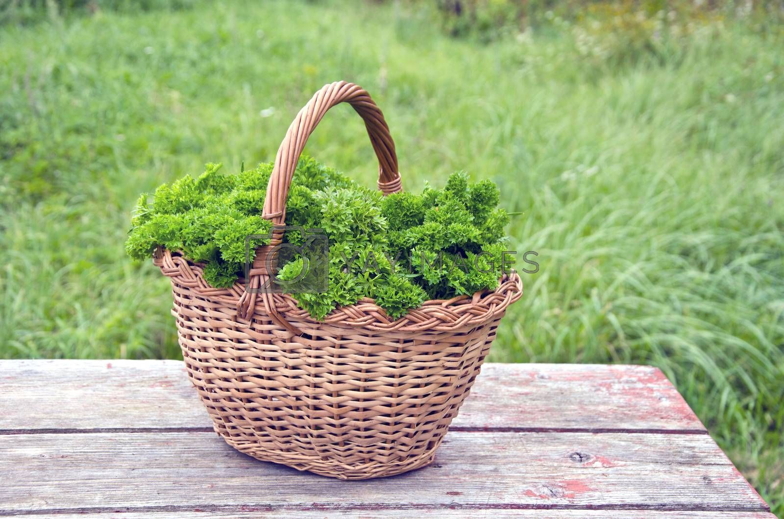 Royalty free image of Fresh parsley in wicker basket on wooden table by alis_photo