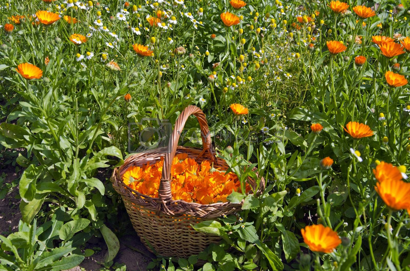 Royalty free image of Freshly picked calendula blossoms in wicker basket in the garden by alis_photo