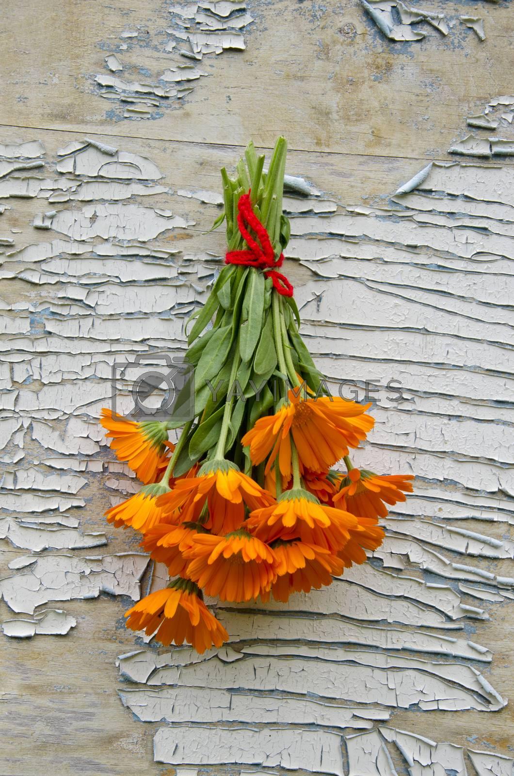 Royalty free image of Bunch freshly picked calendula hanging on peeling background by alis_photo