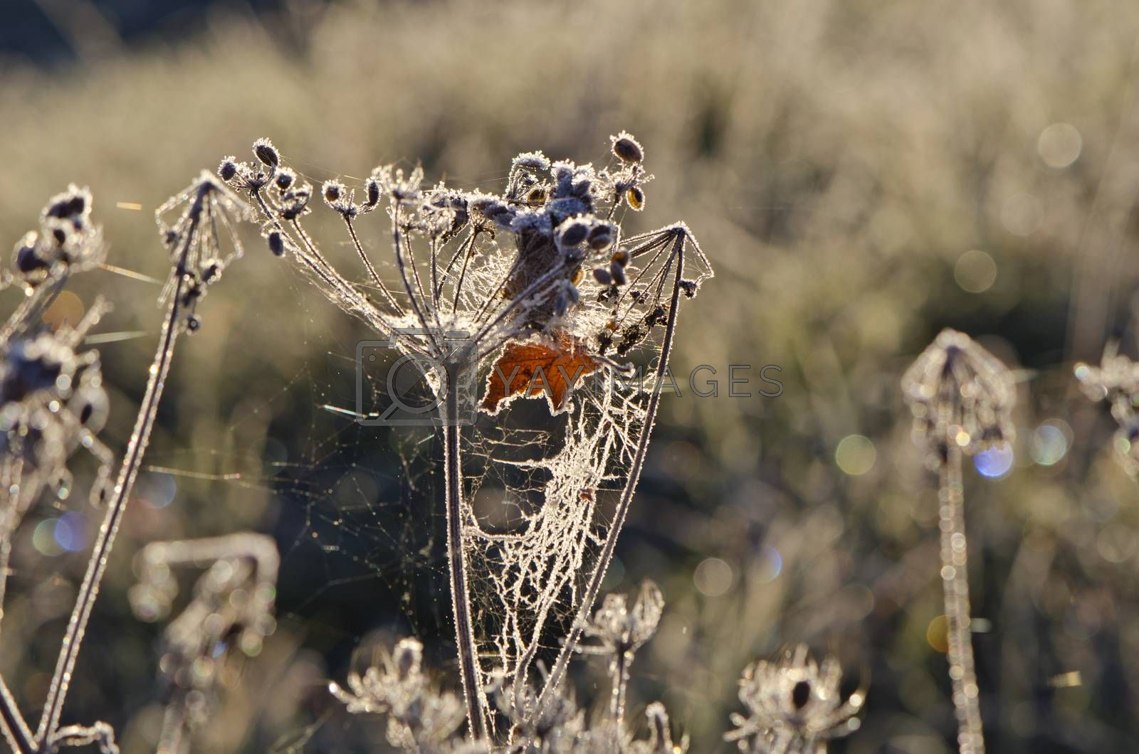 Royalty free image of Dry plant with morning frost and cobwebs   by alis_photo