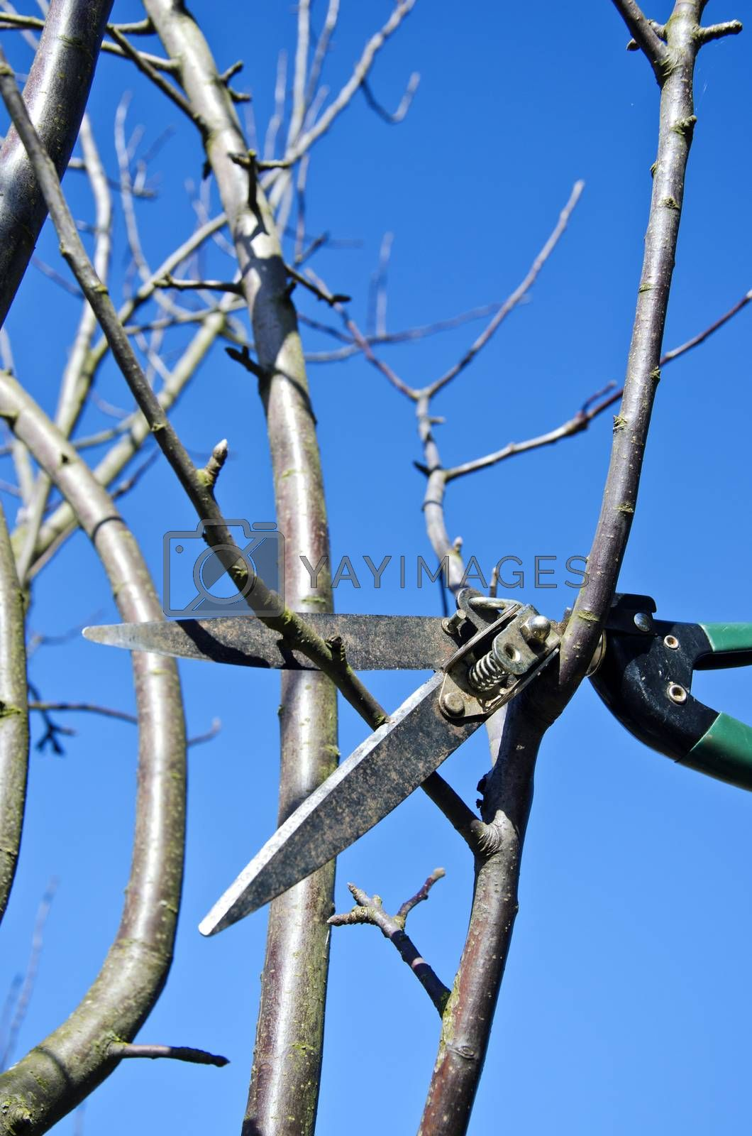 Royalty free image of Pruning shears hanged in apple tree in spring  by alis_photo
