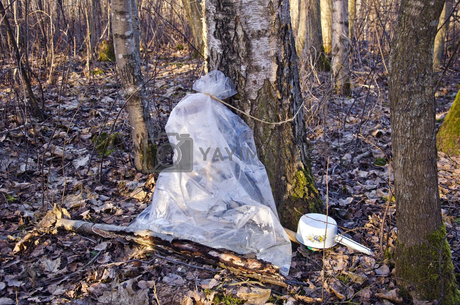 Royalty free image of Birch tree sap collection in a plastic bag by alis_photo