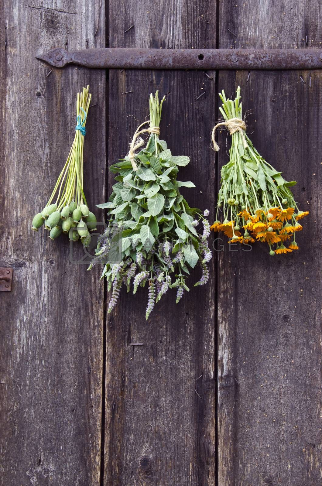 Royalty free image of Bundles of medical herbs hanged on antique  ranch door   by alis_photo