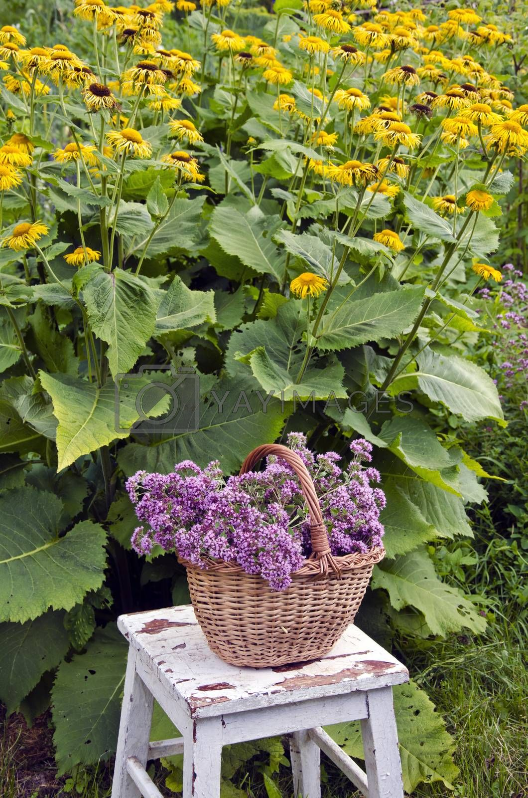 Royalty free image of Freshly picked oregano in a wicker basket in the garden by alis_photo