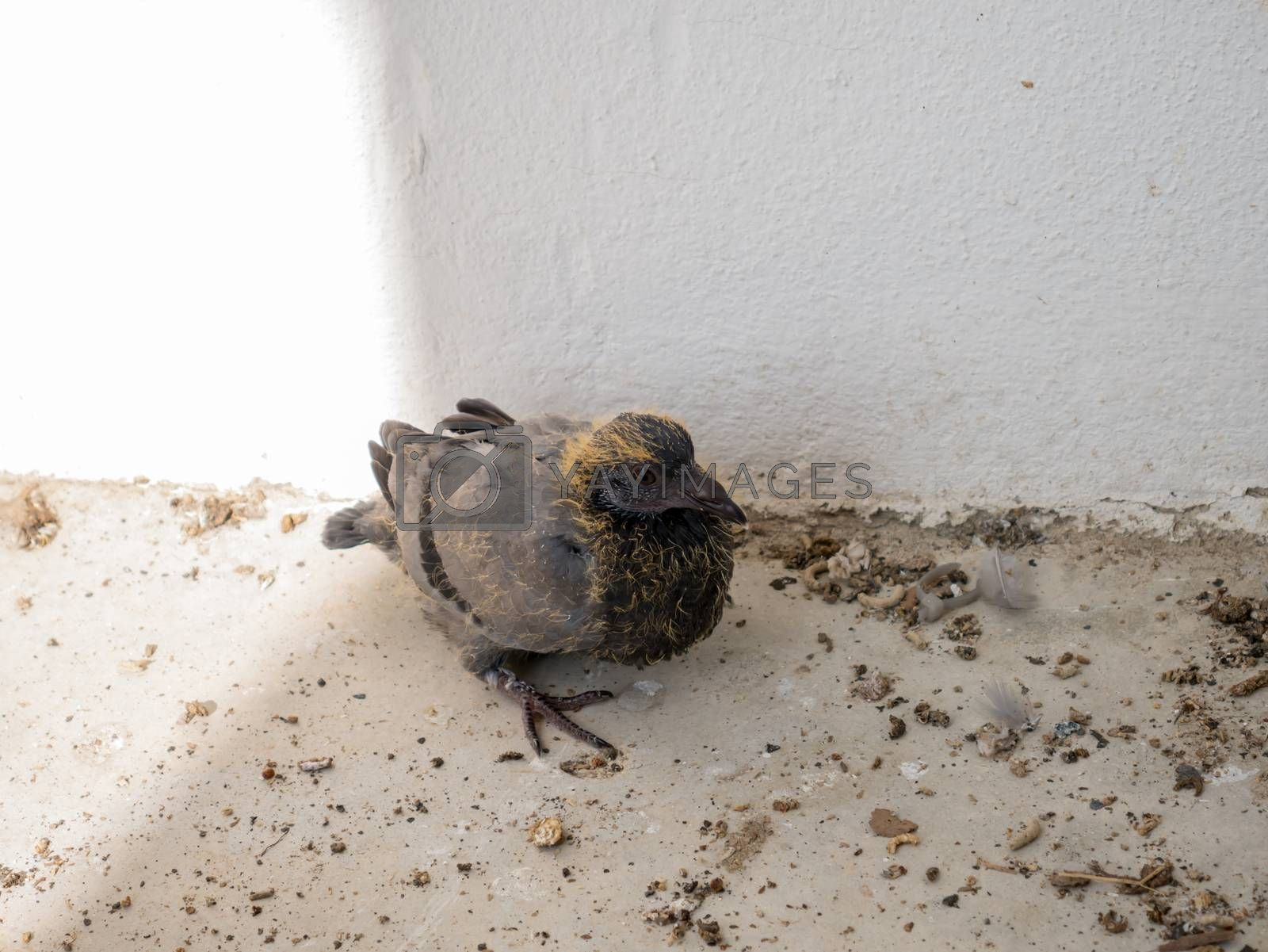 Royalty free image of Baby pigeons by nikky1972