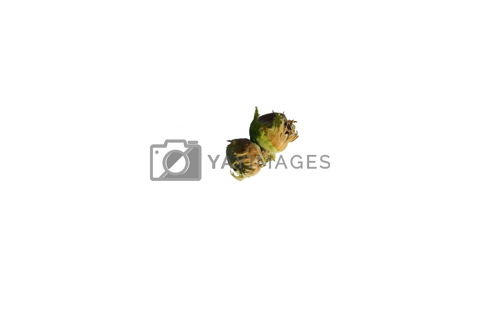 Royalty free image of Isolated Hazel by ginton