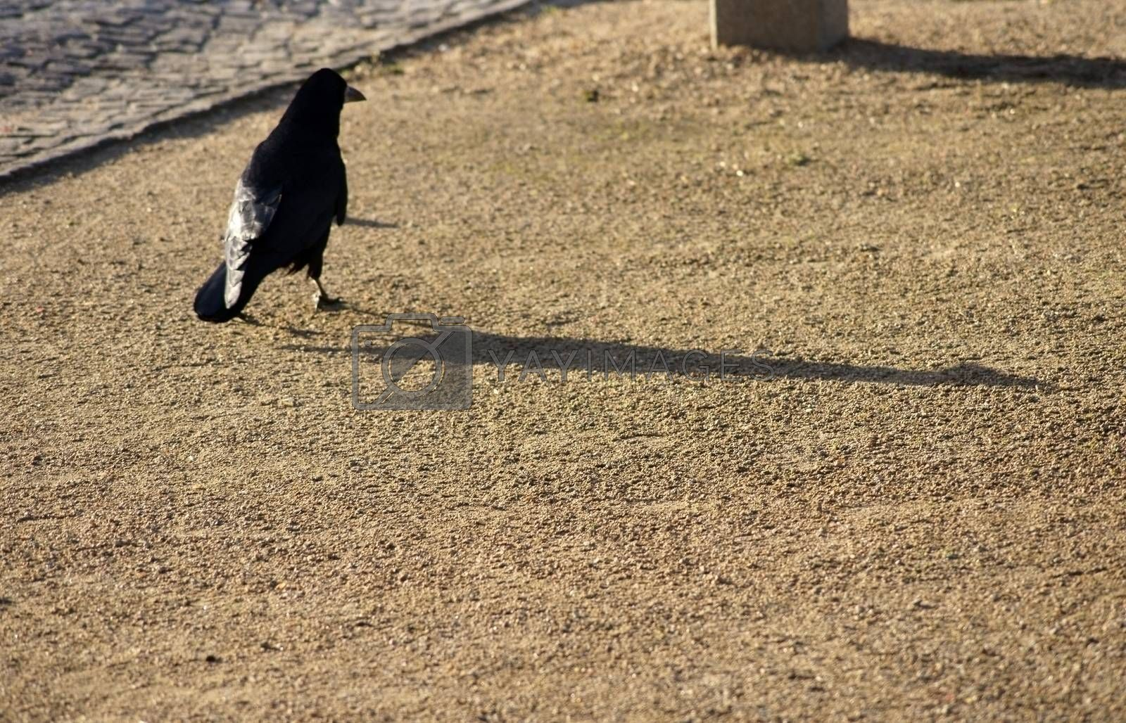 A crow poses on a sidewalk with a gravel bed and cast a shadow.