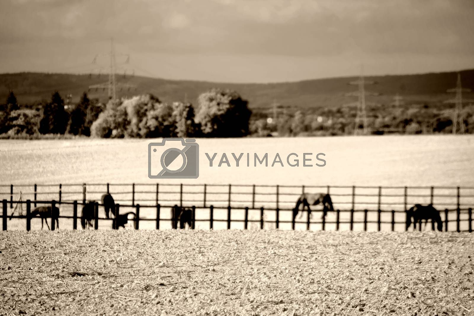 A herd of black horses in a paddock behind a fence.