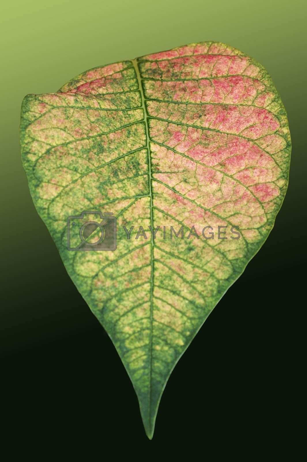 The closeup of the isolated leaf of a poinsettia with a distinctive pattern and color.