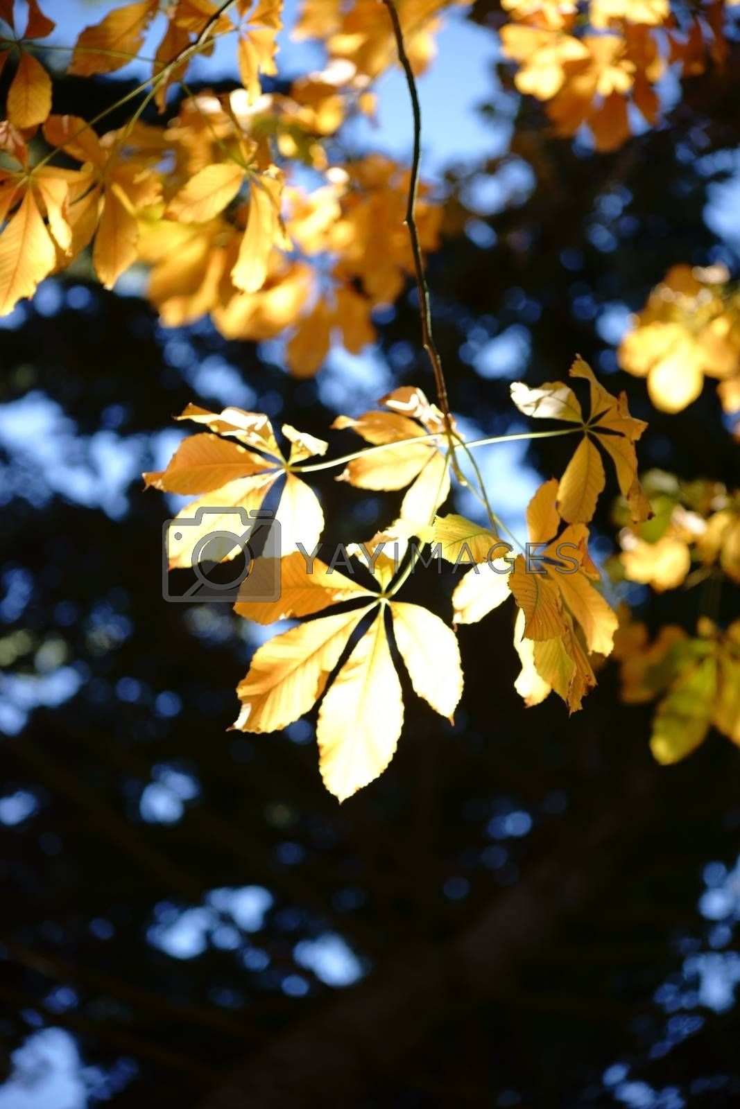Royalty free image of Autumn leaves Horse Chestnut by ginton