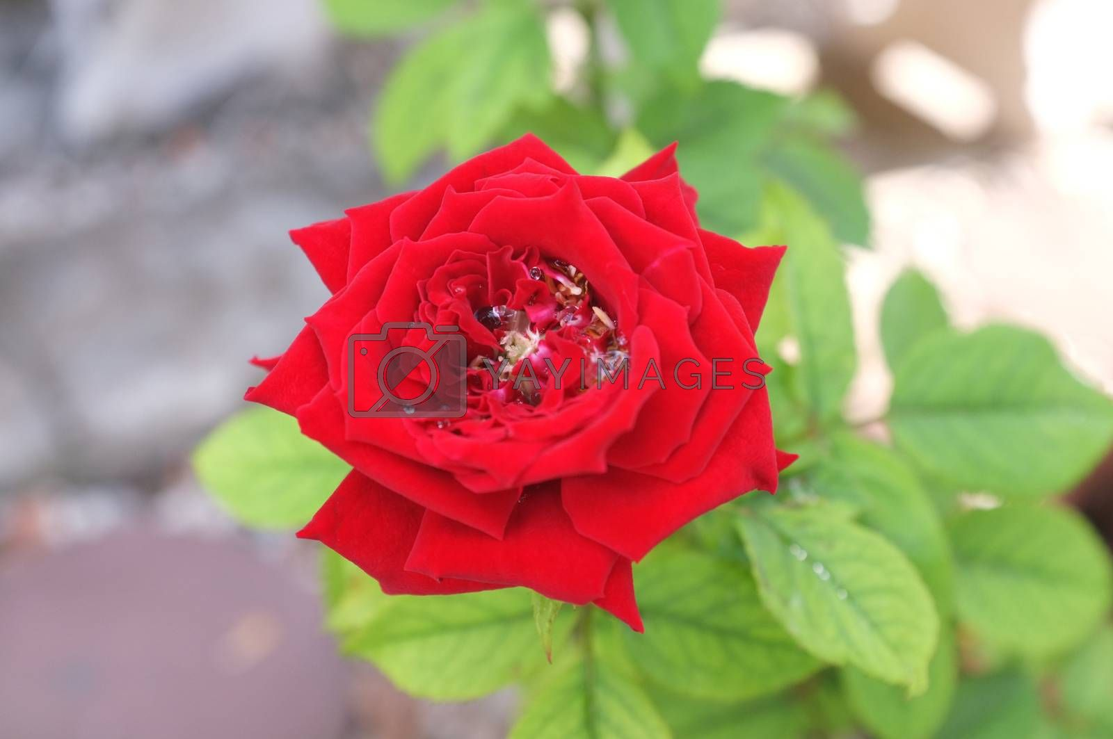 Royalty free image of Red rose with green leaves by Hepjam