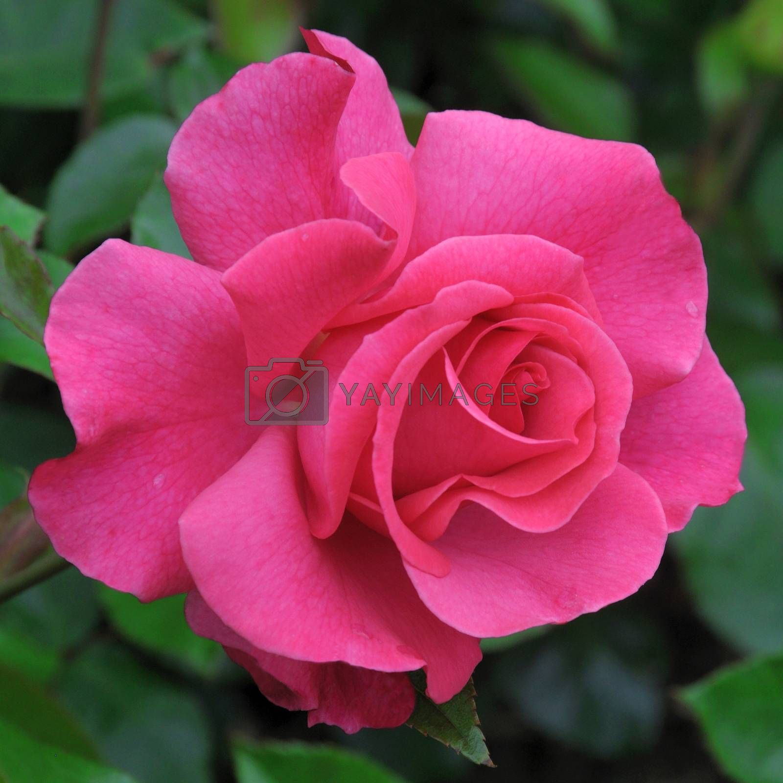 A lovely pink  rose..