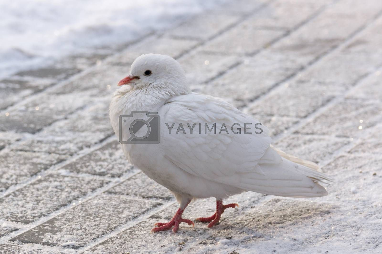 The photo depicts a white dove on the road
