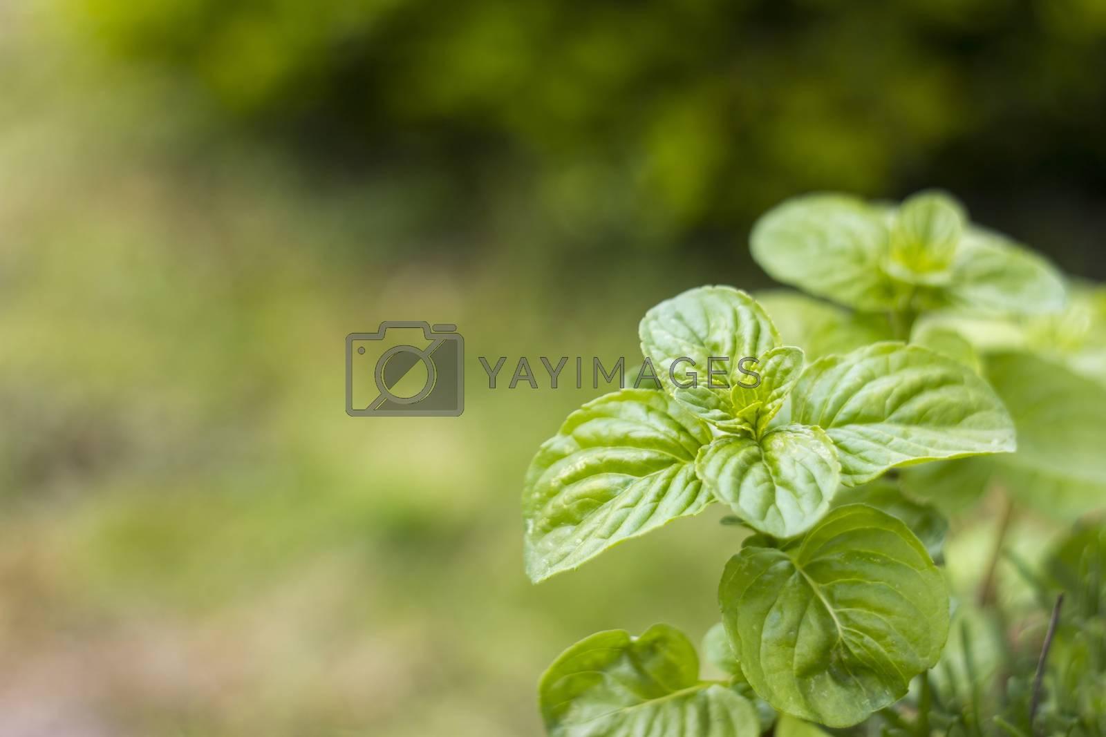 Mint plant grown at garden by miradrozdowski