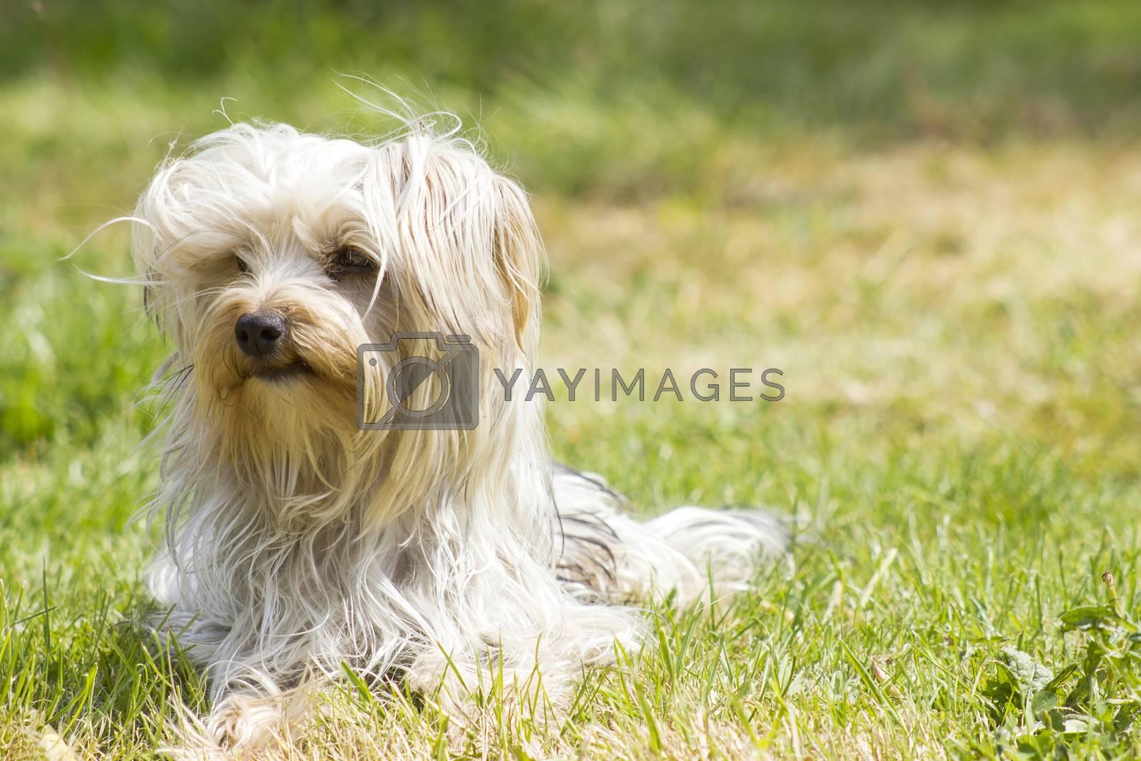 yorkshire terrier in the garden