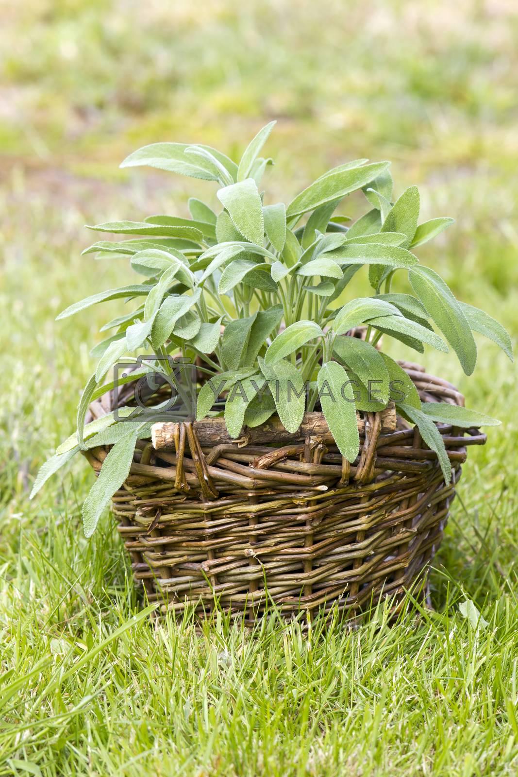 basket with fresh sage in the garden