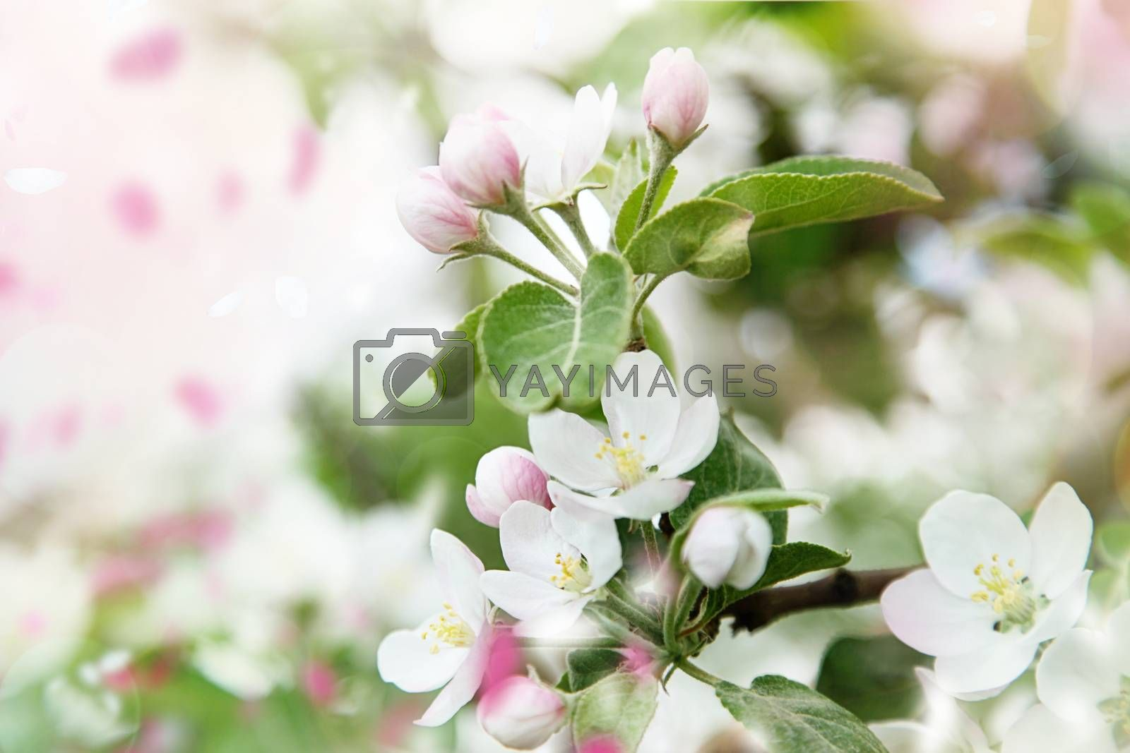 Beautiful spring blossoms in apple tree