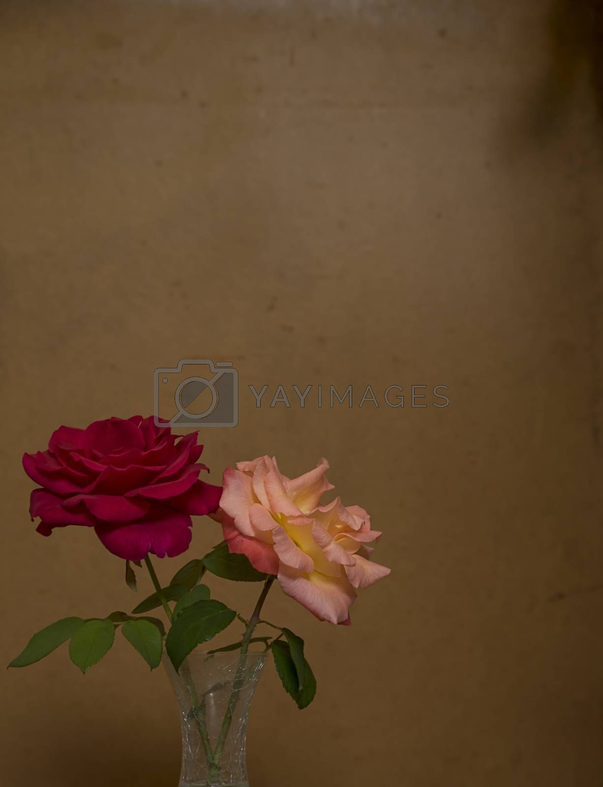 Two 2 Rose flowers against old dark grunge stained dirty backdrop background with copy-space