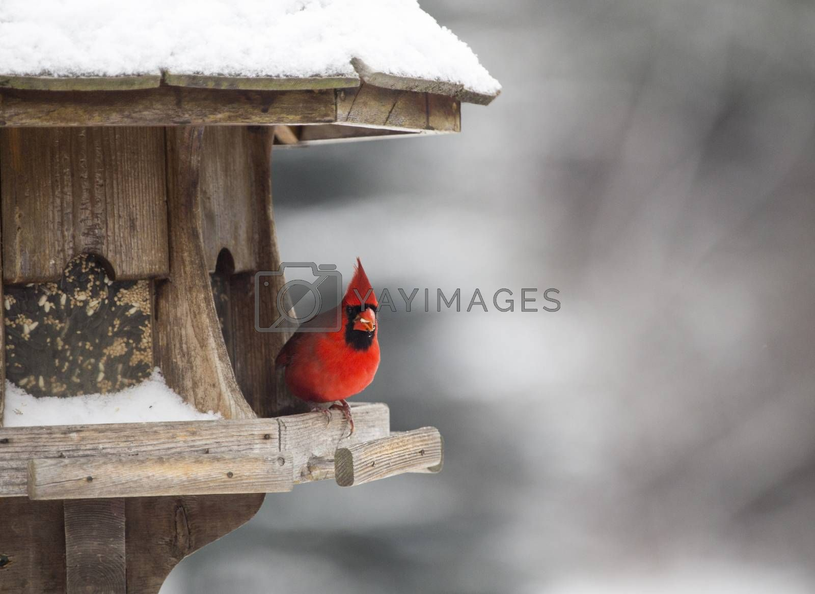 Cardinal at Bird Feeder Snow Storm Canada Male Red