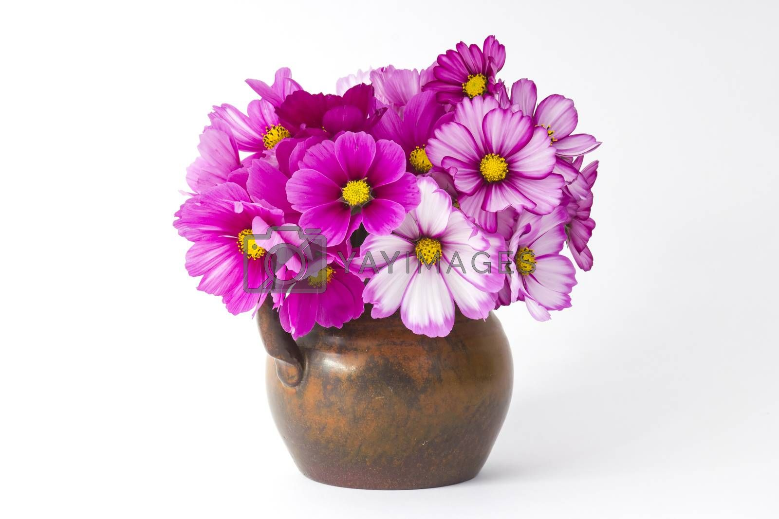 cosmos flowers in a vase on white background