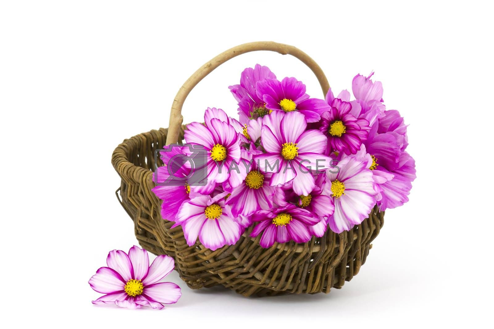 cosmos flowers in a basket on white background