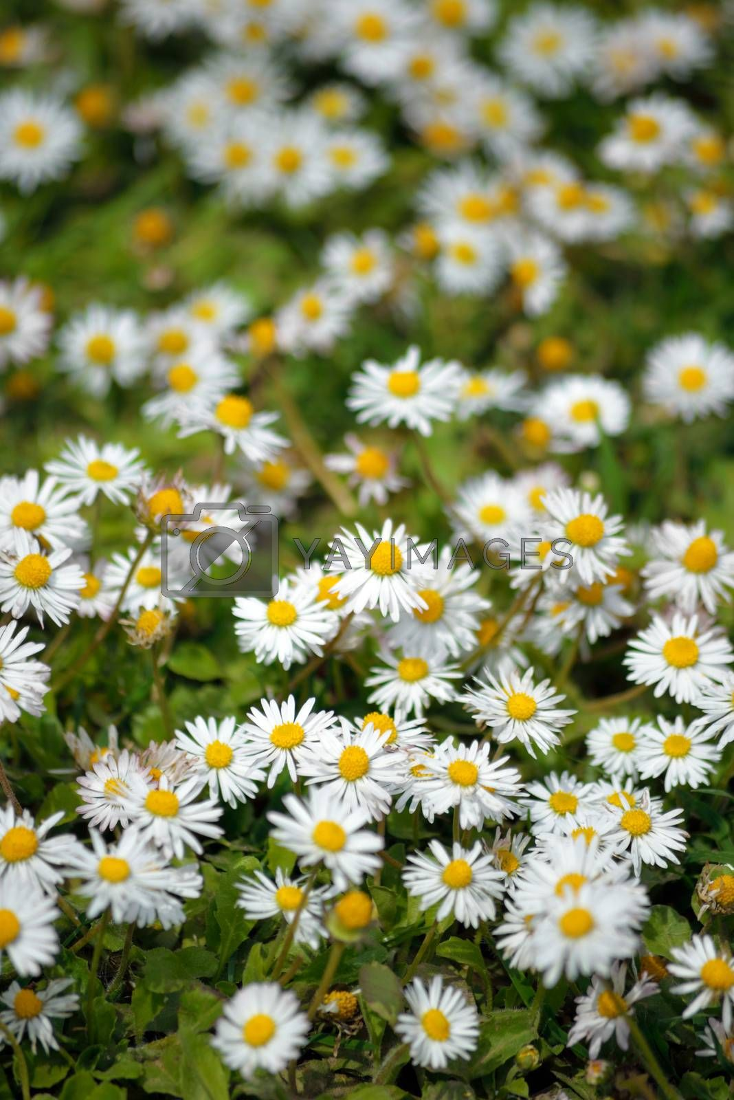 beautiful daisies in the spring season in ireland