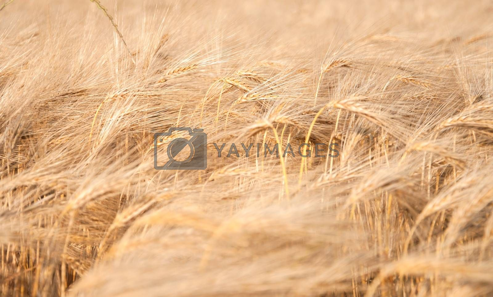 Royalty free image of Wheat field by mkos83