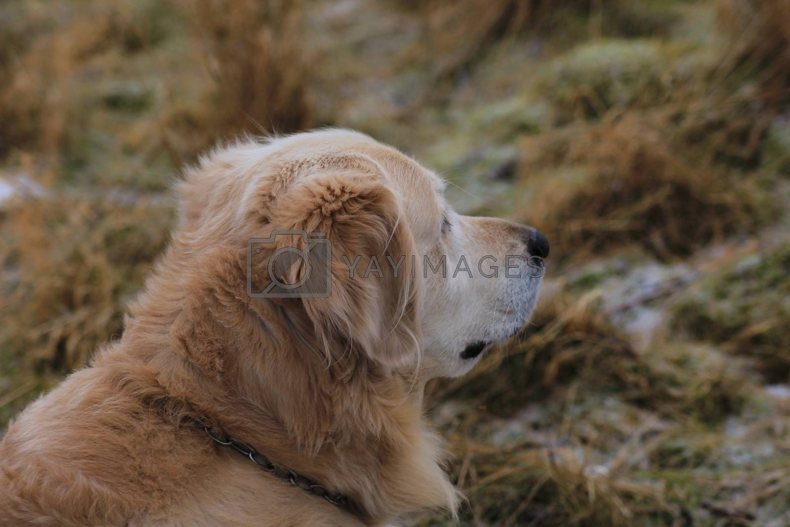 Royalty free image of Golden retrieve by ottar@rustand.us