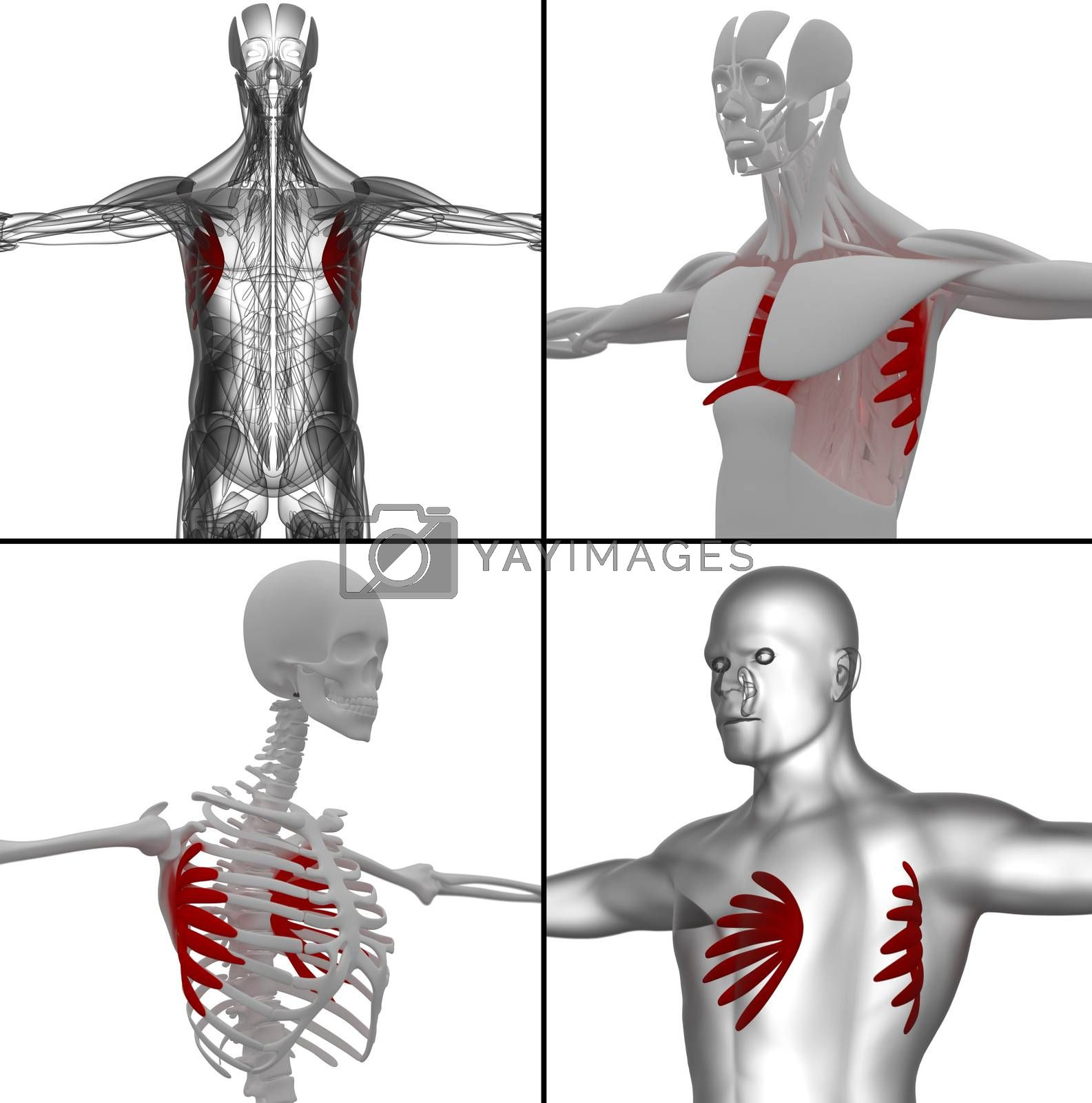 Royalty free image of medical illustration of the serratus anterior by maya2008