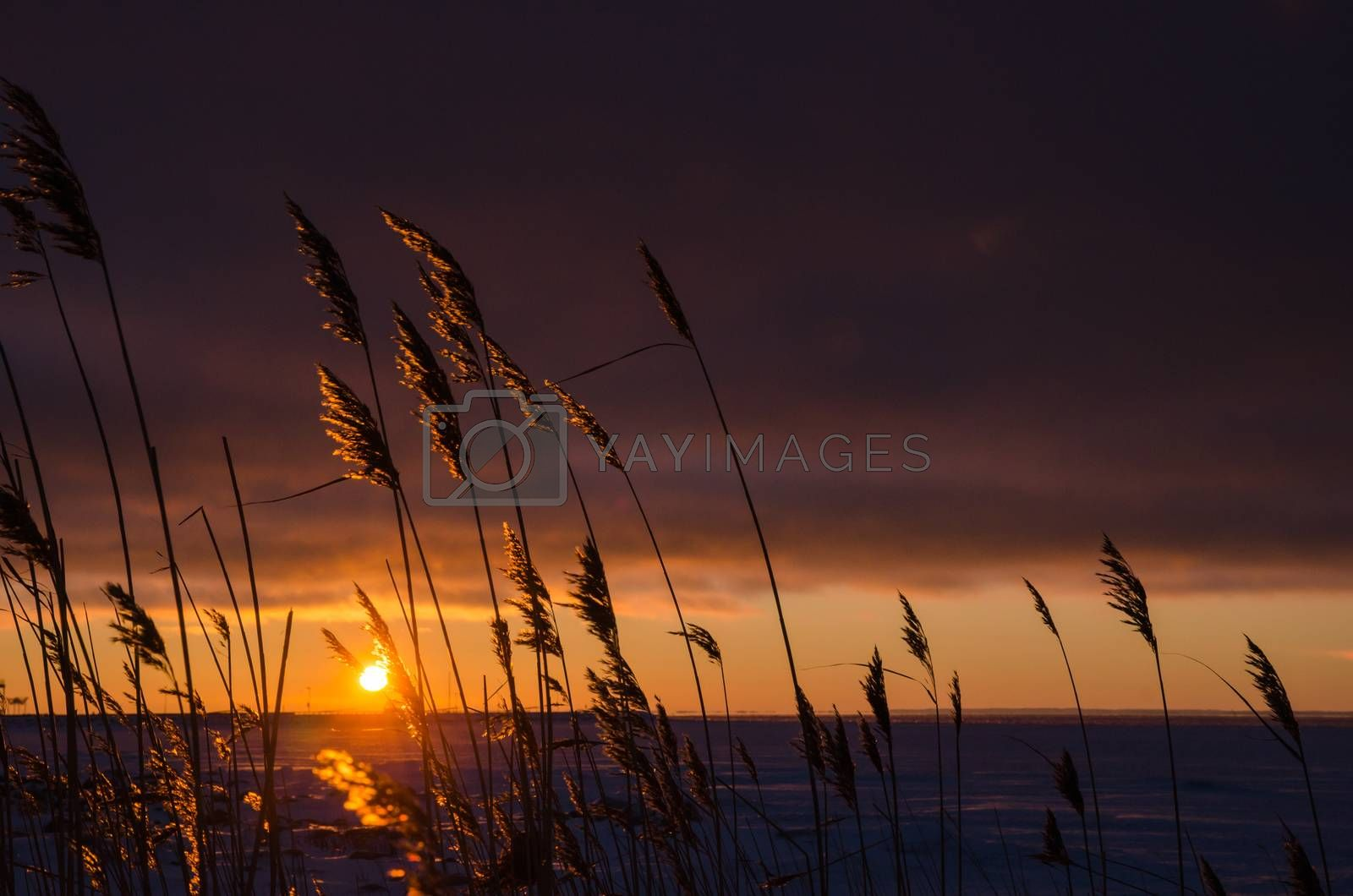 Royalty free image of Reeds by sunset by olandsfokus