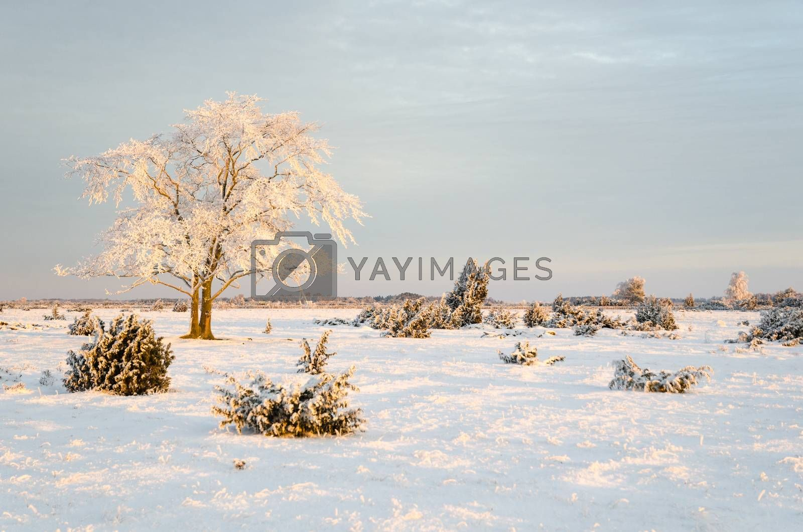 Royalty free image of Frosty solitude tree in the first morning sunshine by olandsfokus