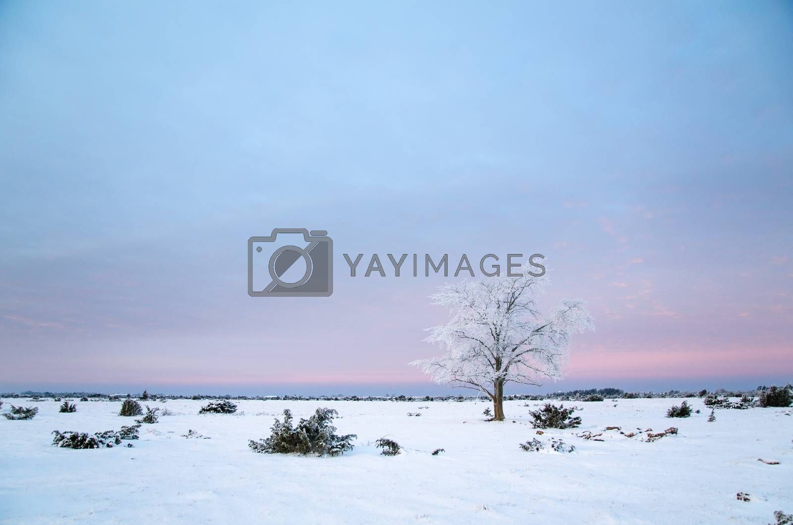 Royalty free image of Lonely frosty tree in a great plain area  by olandsfokus