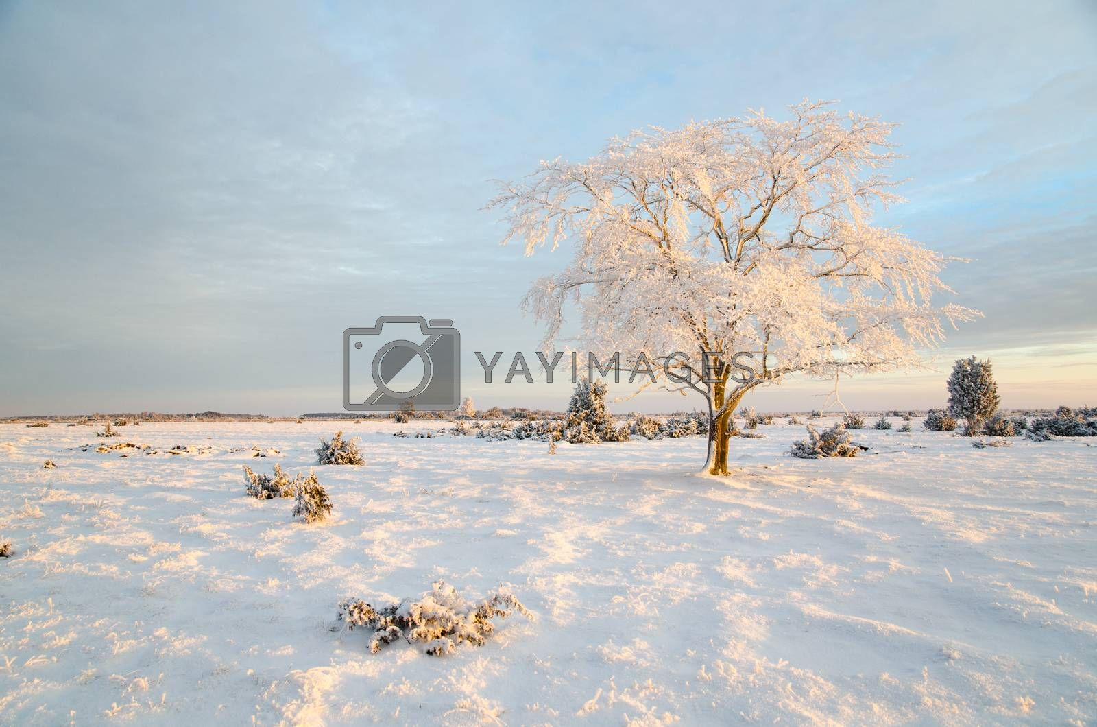 Royalty free image of Winter morning with a frosty tree by olandsfokus