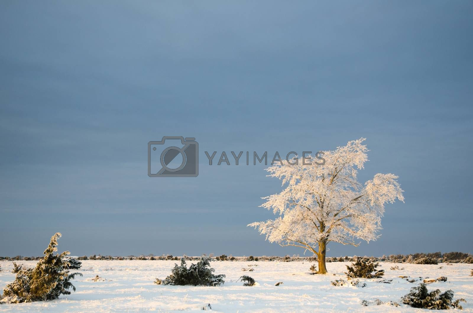 Royalty free image of Alone frosty tree in a plain landscape by olandsfokus