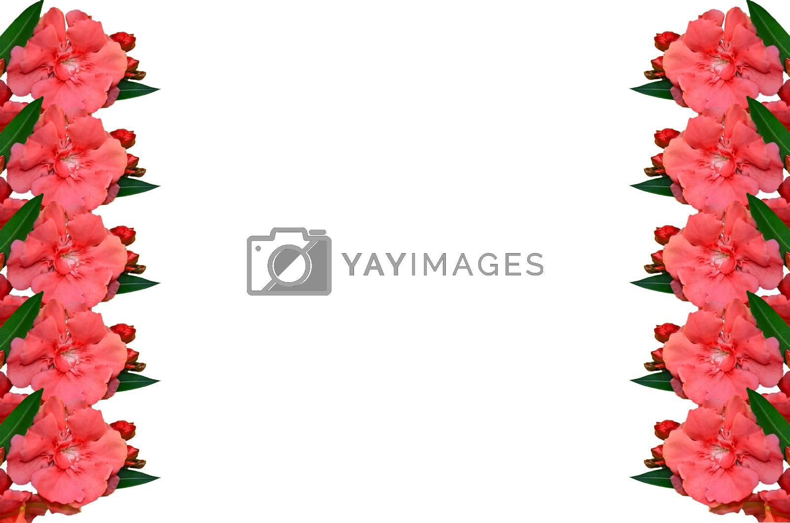 Royalty free image of Sweet Oleander by raweenuttapong