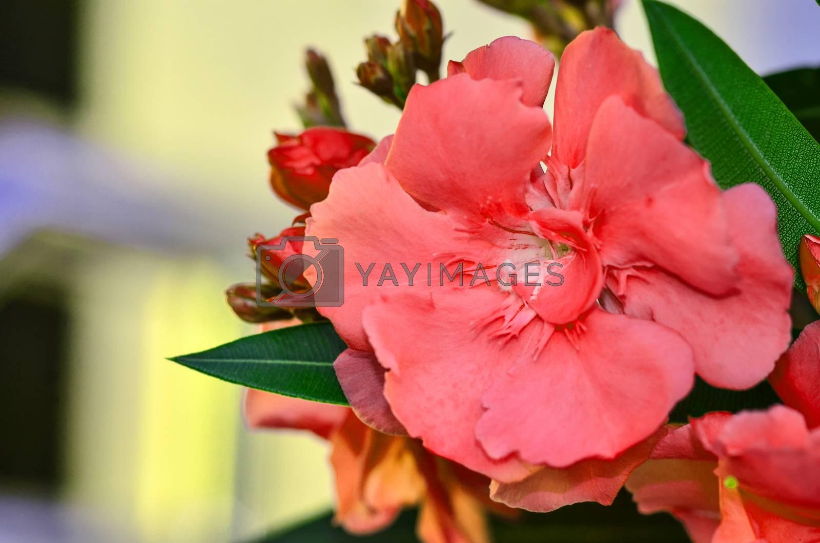 Sweet Oleander by raweenuttapong