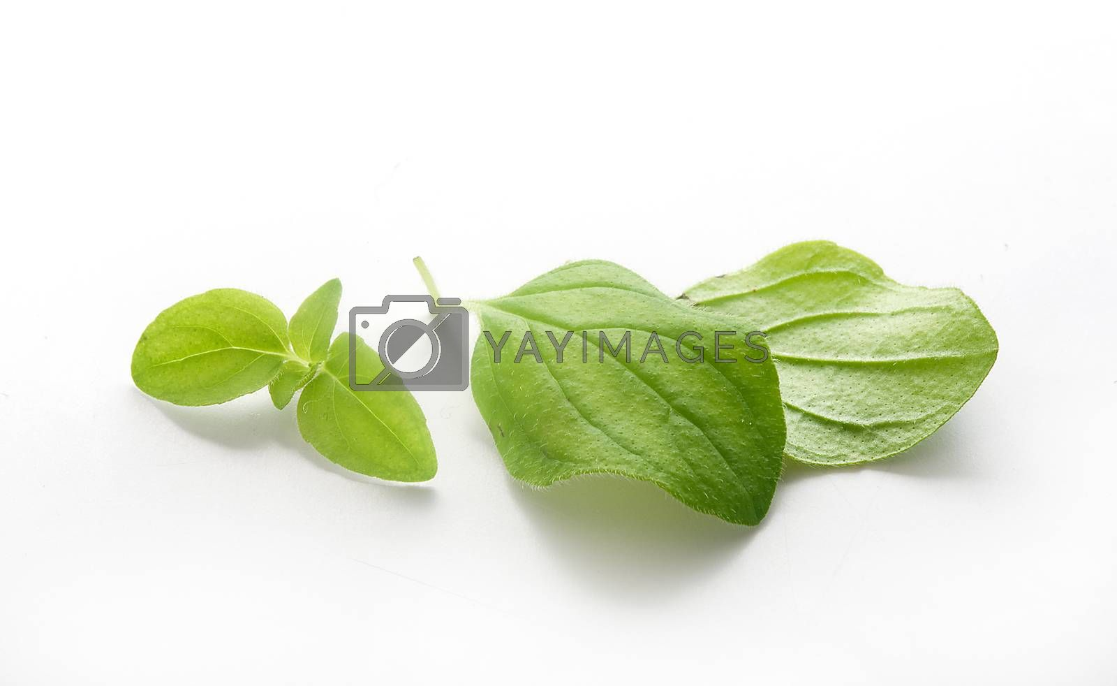 Royalty free image of Leaves of oregano by Angorius