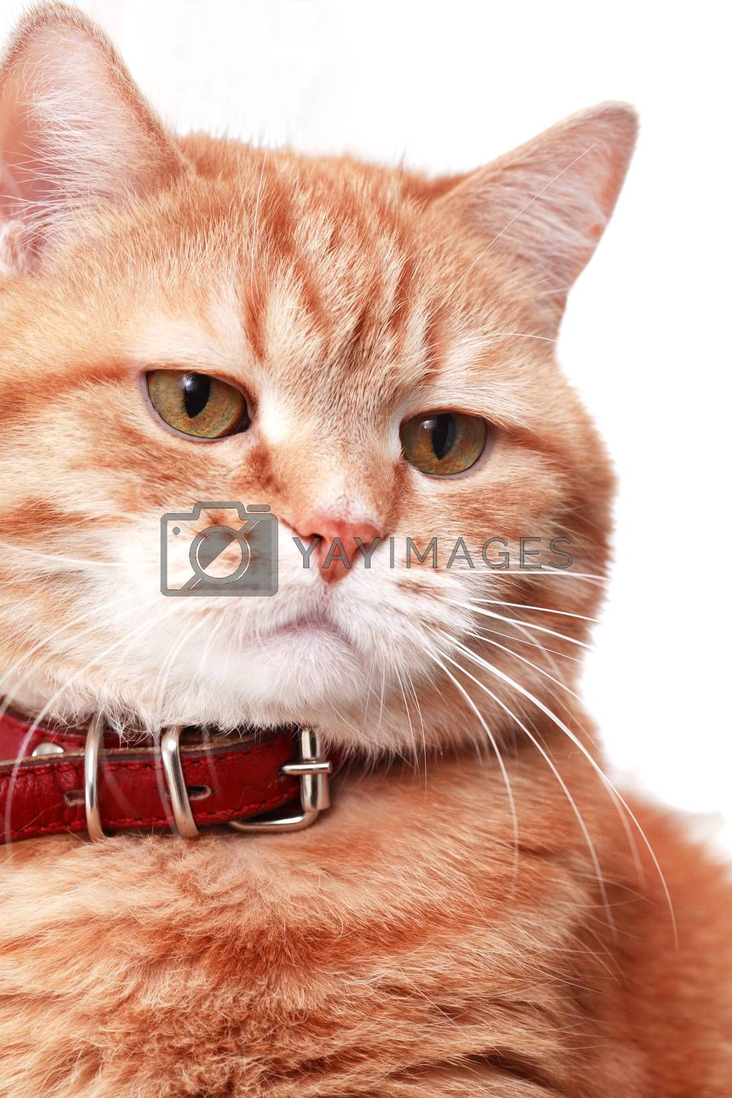Serious Ginger Cat by kvkirillov