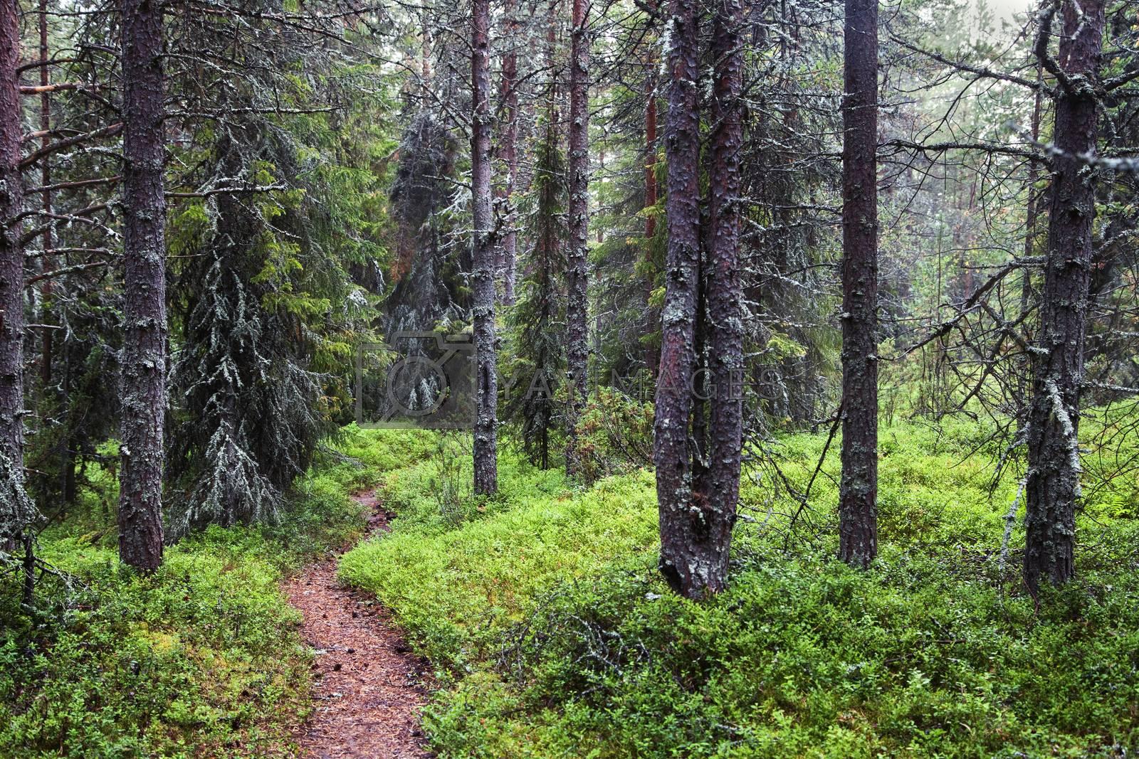 Royalty free image of Misty forest on Kola peninsula by Goodday