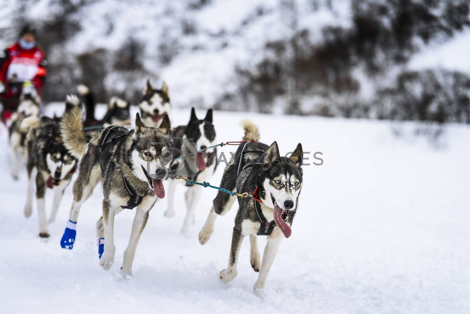 Royalty free image of Sledge dogs in speed racing by ventdusud