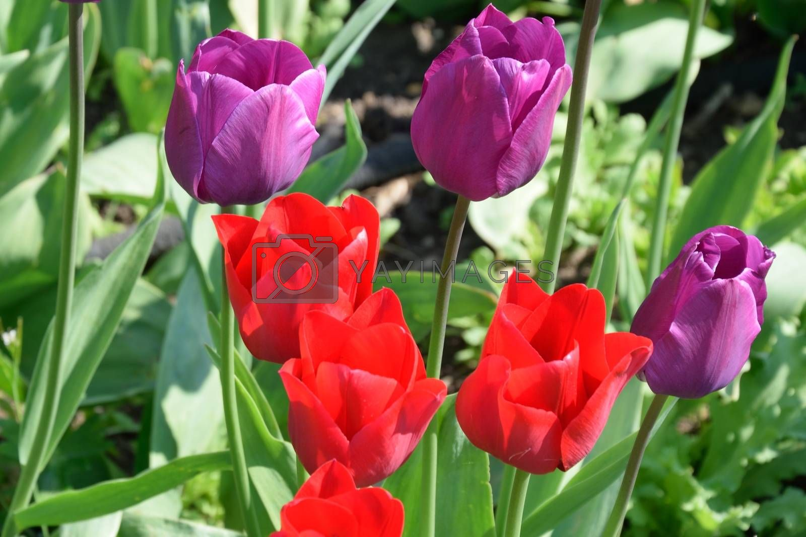 Bright red and Purple Tulips in spring