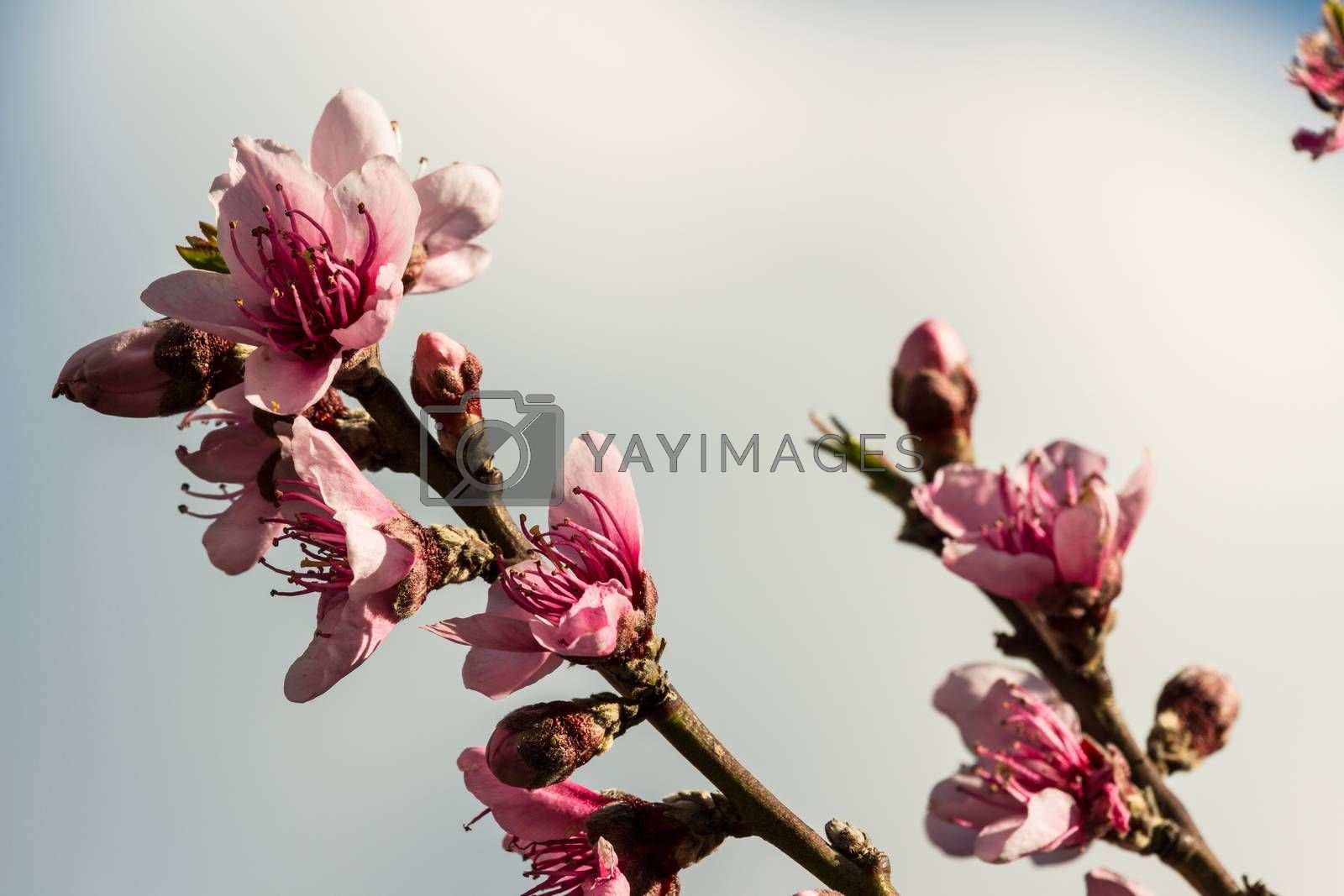 The peach flowers in a beautiful spring
